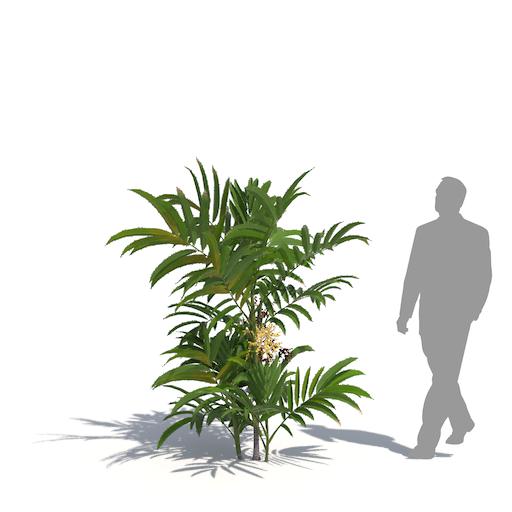 laubwerk dwarf mountain palm