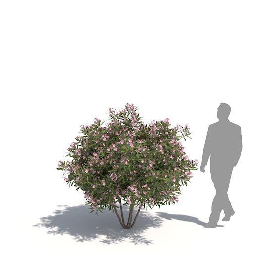laubwerk oleander