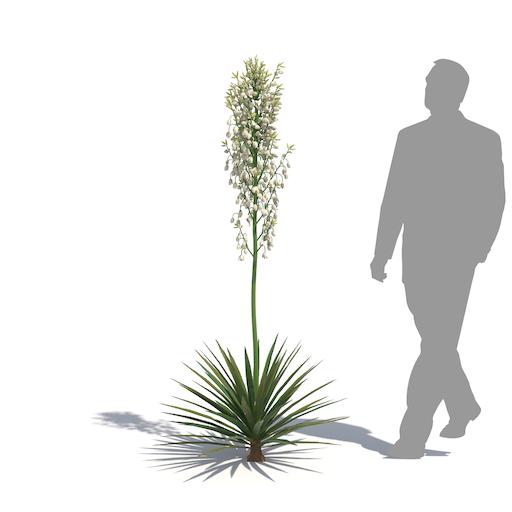 laubwerk yucca