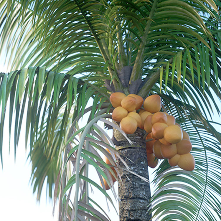 Laubwerk Plants Kit 7 - Tropical Palms