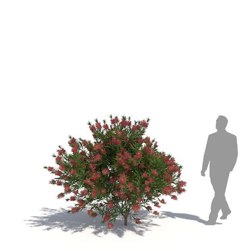 laubwerk crimson bottlebrush