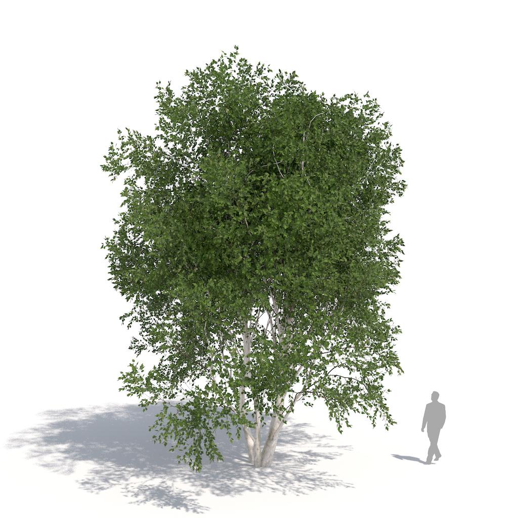 laubwerk birch