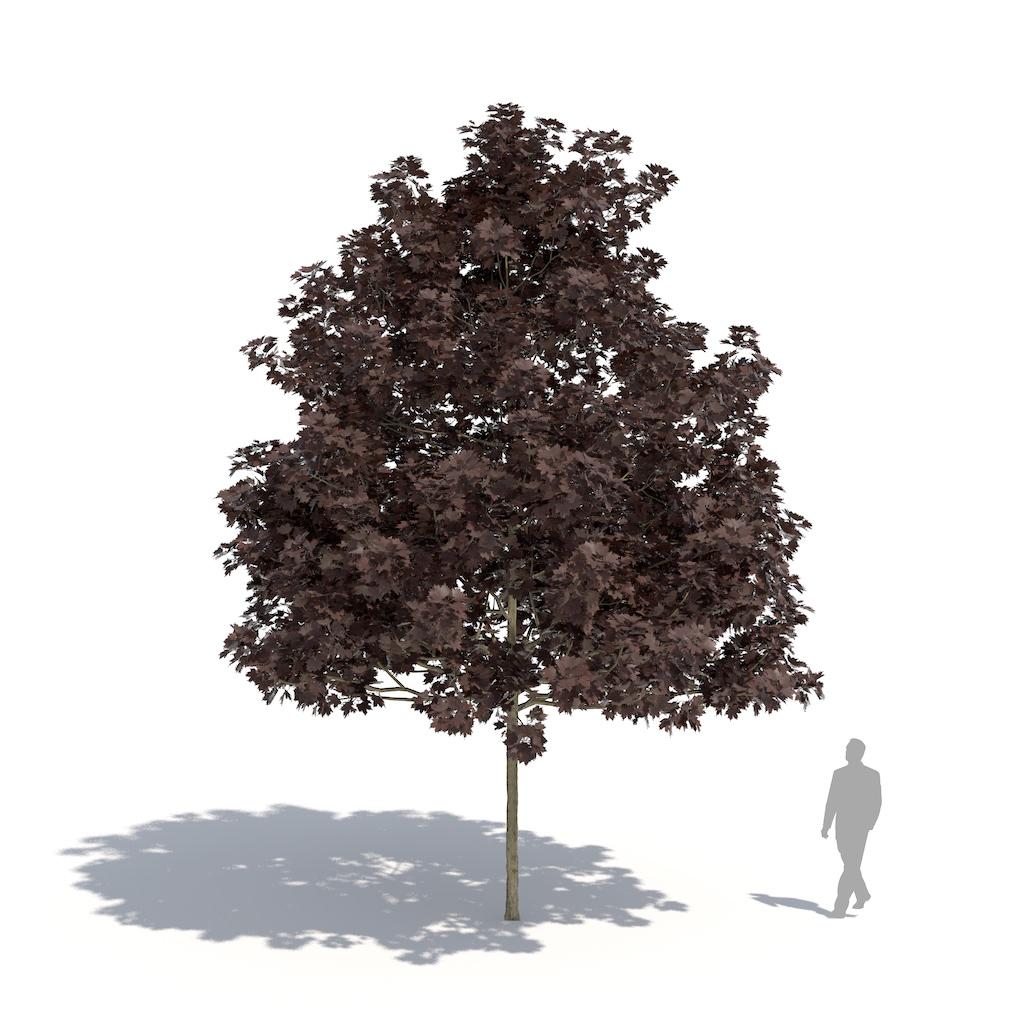 laubwerk black maple